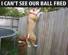 """I cant see our ball Fred."" ~ Dog Shaming shame - Pit Bull"