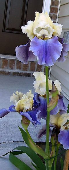 """Tall Iris, 'Edith Wolford' is a herbaceous perennial that grows up to 48"""" tall. The beautiful yellow and blue flowers bloom mid spring. The plant is critter resistant and drought tolerant. Grows in sun to part shade. It is naturalizing and is used in mass plantings, borders, and beds. Zones 3-9"""