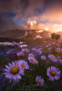 Weather The Storm, lupine and anemone, Mount Rainier National Park, Washington,