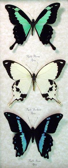 African Swallowtail Set of 3 real Papilio Butterflies from Africa Framed in an Archival Conservation Display
