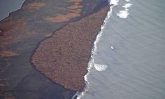 The huge gathering of walrus near Point Lay, Alaska.