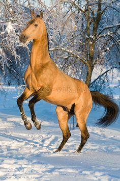☀Golden akhal-teke stallion by ~Vikarus
