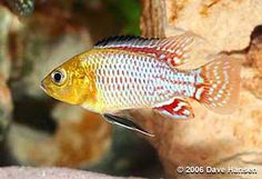 "Pseudocrenilabrus nicholsi - ~3.5"" cichlid with wide range in most of Africa, excluding West Africa and central Africa north of the Congo. mildly aggressive or peaceful, mixed information, mouthbrooder"