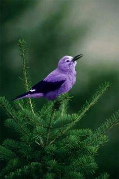 Violet bird, beautiful!!!
