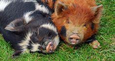 Kune Kune Pigs... They're so cute!!!!