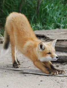 Red Fox by Ron Kube
