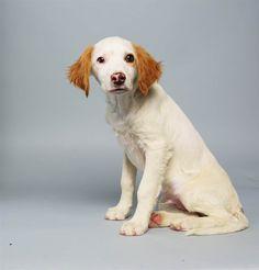 spaniel mix, brittani spaniel, anim, puppies, 14 week, dog, puppi bowl, spaniels, bowls