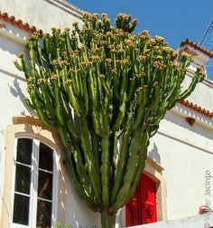 Cacto-candelabro // Naboom (Euphorbia ingens) by Valter Jacinto | Portugal (awesome door too)