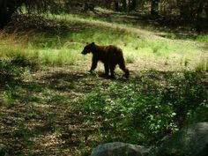 A bear on Fort Huachuca from the Fort Huachuca Facebook page.