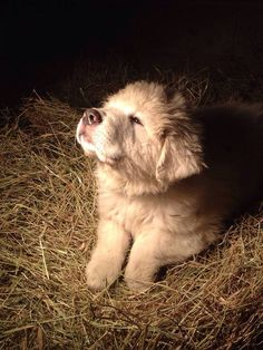 Pyr puppy