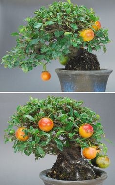 i would love a bonsai fruit tree