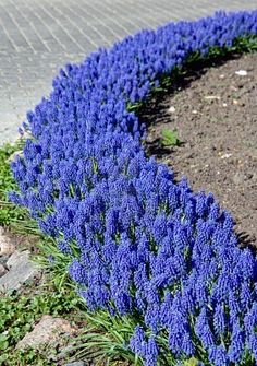 Grape Hyacinth - would love to do this with a mix of tulips in the front yard