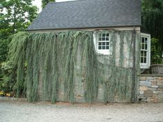 Talk about wall art...this Cedrus atlantica 'Glauca Pendula' literally covers the entir side of this building at Oliver Nursery in Fairfield, CT