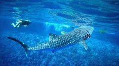 Christmas Island - Whale shark