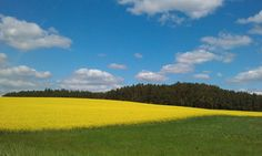 菜の花畑 field mustard