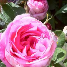 Rosa Gertrude Jeykll with a scent that is incredible