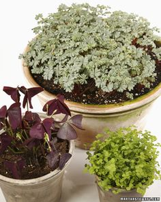 Shamrock plants for St. Patrick's Day, or for any day.  These purple ones go to sleep and fold up like a flower and have tiny little white flowers.  Very nice window plant