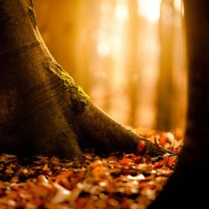 forests, tree trunks, trees, autumn falls, leaves, fall holidays, glow, light, autumn leav