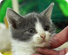 Searcy, AR - Domestic Shorthair. Meet Amos, a kitten for adoption. http://www.adoptapet.com/pet/11420487-searcy-arkansas-kitten
