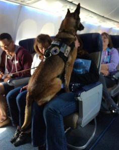 "The Story: ""I was the flight attendant on a Memorial Day flight. Speaking with the passenger in the front row, I learned that the dog pictured was Corporal Kiddy. She had just earned her retirement after 12 years with the U.S. Marines. I made an announcement to congratulate her on her career. The cabin erupted into applause. The corporal jumped onto the nearest lap to graciously accept."""