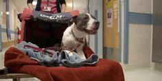 This Paralyzed Pit Bull Brings A Message Of Perseverance To Patients