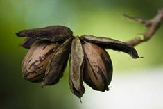 Pecan - Alabama State Nut