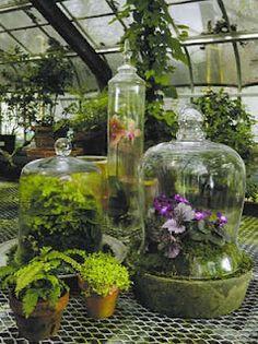 vintage conservatory cloches plant, bell jars, apothecary jars, glasses, pumpkin, violet, herbs garden, terrarium, greenhous