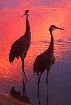 Sandhill Cranes at Sebastian Inlet State Park, Melbourne Beach, FL. Photo by John Buck.