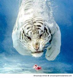 Shot at the right moment swimming towards you swim tiger, white tigers, cat, anim, natur, moment swim, diving, dips, tiger swim