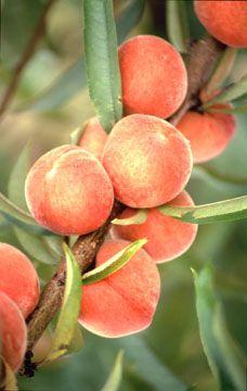 fruit tree website