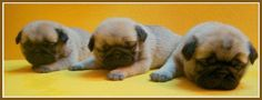 Pug Puppy Facebook Cover Photos For Your Timeline.