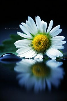 ~~Down By The Water ~ Daisy and reflection by | Les Hirondelles |~~