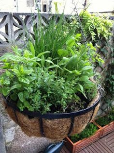 Herbs in a hanging basket