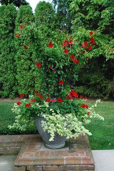 Red-mandevillea.  Deck-garden - Detroit Garden Works via Dirt Simple Blog.  Deborah Silver landscape and garden designer.