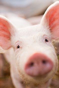 love pigs!