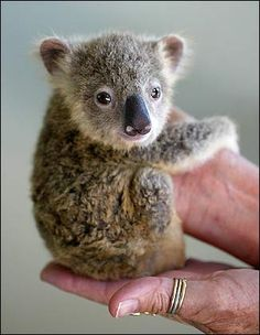 A Baby Koala holding hands.