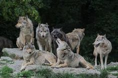 incensewoman:    Beautiful picture of wolves. I love wolves.  The...