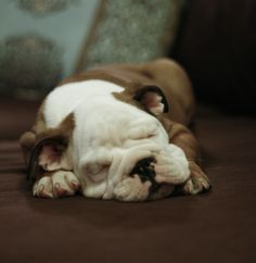 Napping bulldog style.