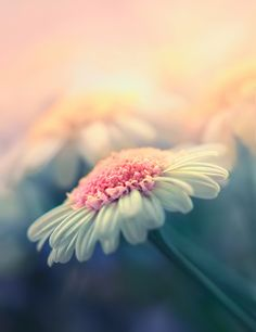 ... gerber daisies, soft pink, soft colors, background, margarita, place, flowers, soft pastels, flower photography