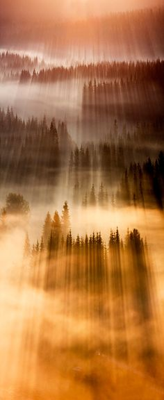 Sunlight and fog amongst the trees.