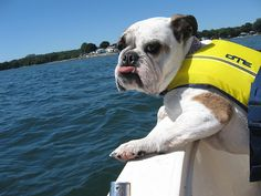Yes, my bulldog actually does have a life jacket