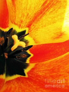 Tulip by Molly McPherson of Fine Art America
