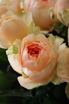 rose Malesherbes