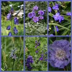 Vaste plant paarse bloemen
