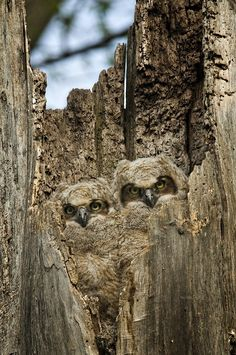 Camouflaged Owls | See More Pictures | #SeeMorePictures