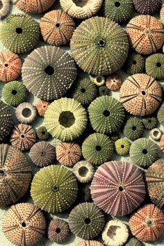 Multi colored Sea Urchins