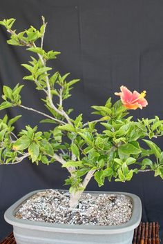 hibiscus-love the bonsai look