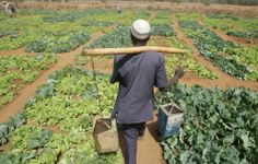 A farmer carrying watering cans to irrigate lettuce and cabbage crops in Niger. ©FAO/Giulio Napolitano #unfaozhcgarden