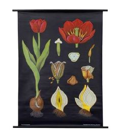 Daily Find: 1950's German Botanical Posters These mid-century botanical prints are still printed by the original company and are scientifically accurate for teaching purposes. Framed nicely, the dramatic black background and bright floral shapes become a wonderfully surprising piece of statement art. Two framed on one wall is particularly nice as well and how I originally found them in a friend's home.