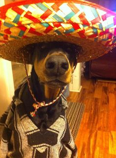 Teri Bushendorf Señor Malakie! Happy #Cincodemayo #Dobermanpinscher #Doberman